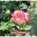 Virágágyi ágyás rózsa