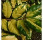 Elaeagnus ebbingei 'Costal Gold' - Tarkalevelű ezüstfa