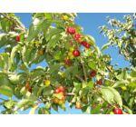 Cornus mas 'Macrocarpa' - Nagy gyümölcsű som