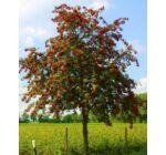Sorbus aucuparia 'Edulis' - Madárberkenye