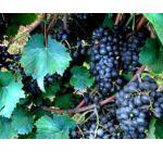 'Fekete oxan' különleges csemegeszőlő