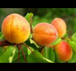 Prunus armeniaca 'Bergeron'- Bergeron konténeres kajszibarack vadkajszi alanyon