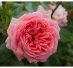 Rosa 'Kimono' - Rózsaszín, magastörzsű rózsaoltvány