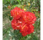Rosa 'Alinka' - Piros-sárga, magastörzsű rózsaoltvány