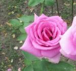 Rosa 'Lila' - Lila, magastörzsű rózsaoltvány