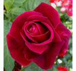 Rosa 'Mr Lincoln' - Bordó, magastörzsű rózsaoltvány