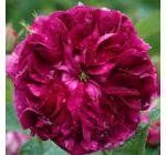 Rosa Charles de Mills - Bíborlila kúszó, történelmi rózsa