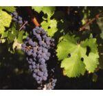 'Cabernet sauvignon' vörös borszőlő