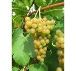 'Favorit' csemegeszőlő