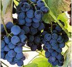 'Vénus' kék magvatlan csemegeszőlő