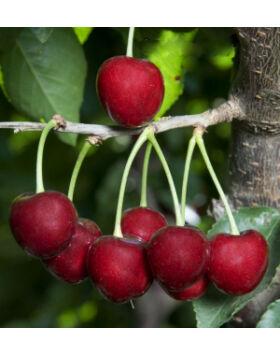 'Lambert' cseresznye