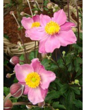 Anemone 'Fantasy Cinderella' - Szellőrózsa (rózsaszín)