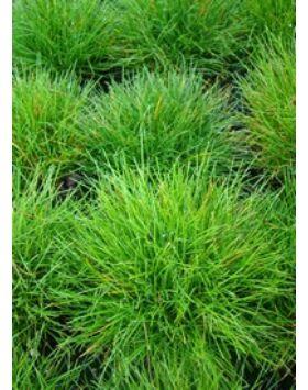 Festuca gautieri (scoparia) - Medveszőrcsenkesz