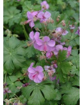 Geranium cantabrigiense (x) 'Cambridge' - Lilás rózsaszín angol gólyaorr