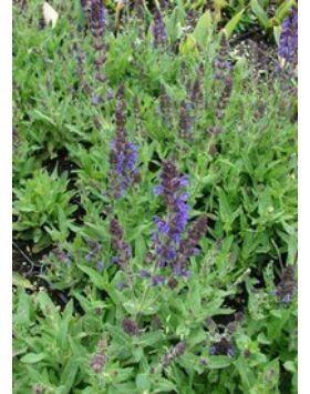 Salvia nemorosa 'Marcus' - Kék ligeti zsálya