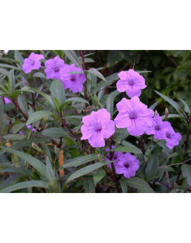 Ruellia britonniana - Mexikói petúnia