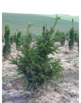Taxus baccata 'Sövény' - Tiszafa sövény