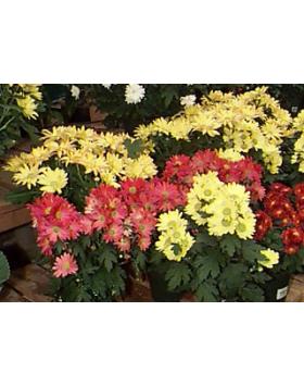 Chrysanthemum sp. - Krizantém