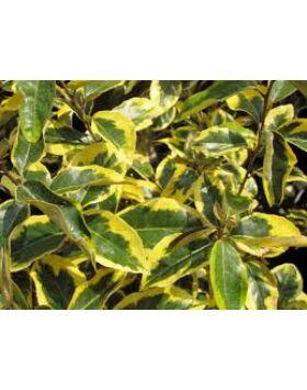 Elaeagnus ebbingei 'Gilt Edge' - Sárga-tarka levelű ezüstfa
