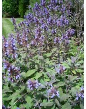 Salvia officinalis - Orvosi zsálya