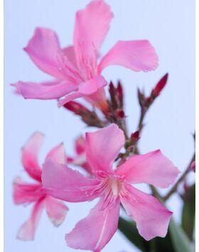 Nerium oleander - Rózsaszín, kis virágú leander