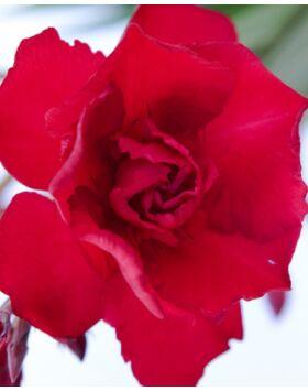 Nerium oleander 'Rubis' - Sötétbordó, teltvirágú leander
