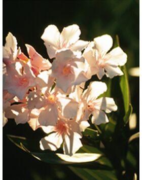 Nerium oleander 'Alsace' - Mandulaszínű leander
