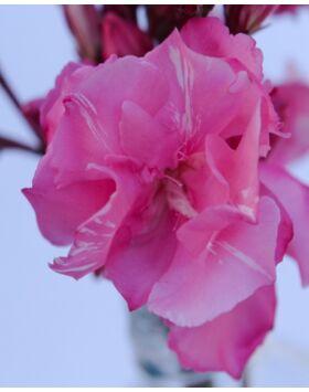 Nerium oleander 'Splendens' - Rózsaszín, teltvirágú leander