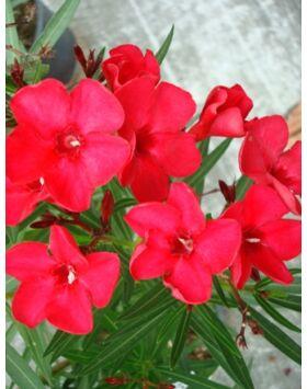 Nerium oleander 'Firewalker' - Tűzpiros, keskenylevelű leander