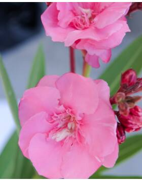 Nerium oleander - Óriás, rózsaszín, teltvirágú leander