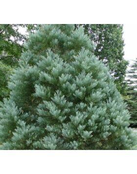 Sequoiadendron giganteum 'Hazel Smith' - Óriás mamutfenyő