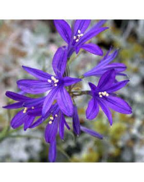 Ixiolirion tataricum - Tatár kéktölcsér