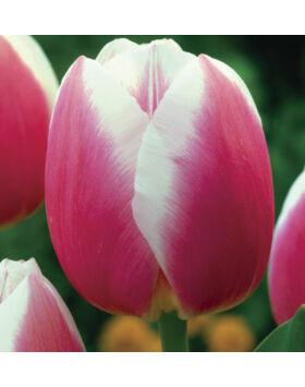 Triumph-típusú tulipán 'Valentine'