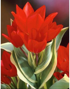 Tulipa praestans 'Unicum' - Csokros tulipán