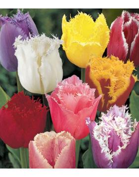 Rojtos szirmú tulipán - Crispa színkeverék