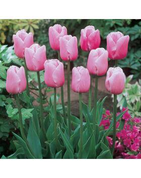 Tulipa 'Esther' - Egyszerű virágú tulipán