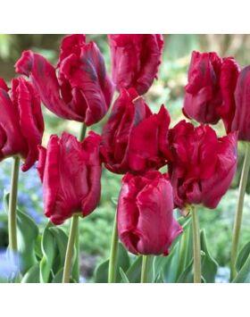 Papagájvirágú tulipán 'Bastogne Parrot'