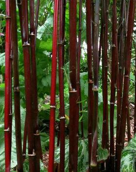 Fargesia jiuzhaigou 'Deep Purple' - Lilásvörös bambusz