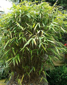 Pseudosasa japonica – Japán nyílbambusz