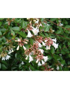 Abelia sp. - Tárnicslonc