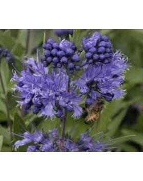 Caryopteris clandonensis 'Heavenly Blue' - Angol kékszakáll