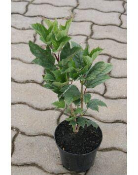 Viburnum trilobum 'Bailey Compact' - Törpe amerikai bangita