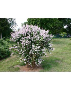 Deutzia scabra 'Plena' - Érdeslevelű gyöngyvirágcserje