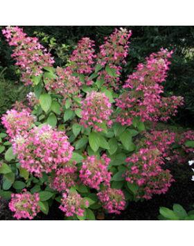 Hydrangea paniculata 'Ruby' – Bugás hortenzia