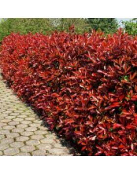 Photinia 'Red Fire' - Korallberkenye