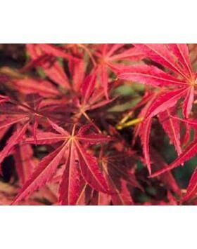 Acer palmatum 'Lionheart' - Japán juhar