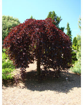 Fagus sylvatica 'Purpurea Pendula' - Csüngő vörös bükk