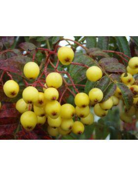 Sorbus arnoldiana 'Golden Wonder'