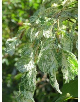 Ulmus hollandica 'Variegata' – Fehér tarka levelű holland szil