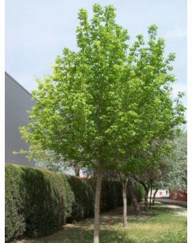 Acer negundo - Zöld juhar
